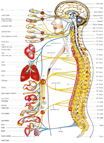 The brain sends messages throughout the body through the autonomic nerves. Misalignments in the spine can interfere with the communication, resulting in organ dysfunction and many other health problems.